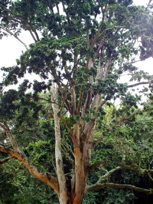 Pau-Brasil(Floresta Amazônica),tempos atuais